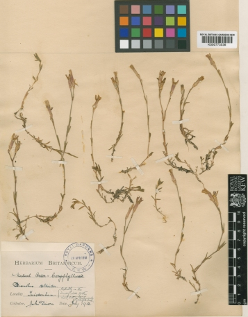 Divers, K000773536 Dianthus from Twickenham (July 1912)